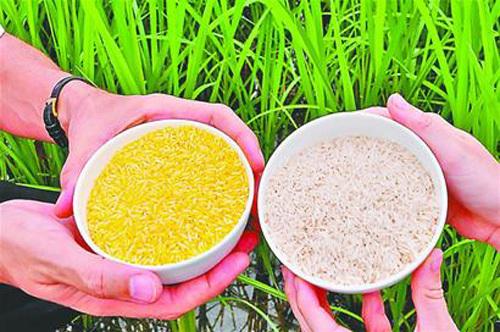 """黄金大米其实就是""""转基因水稻"""""""